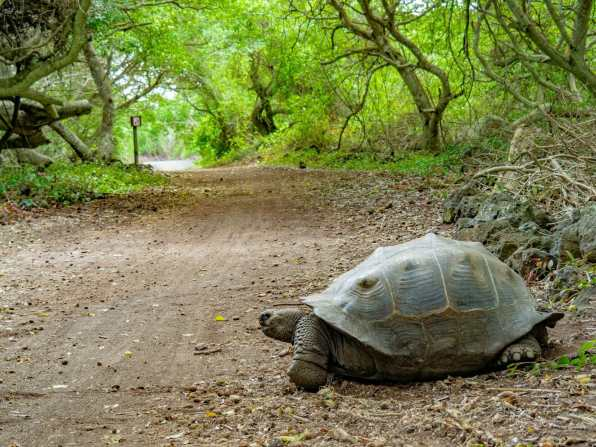 Tortoise crossing the road on Isabela