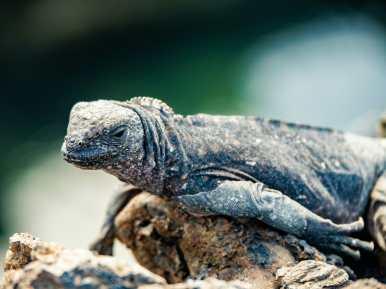 Lizard portrait Galápagos