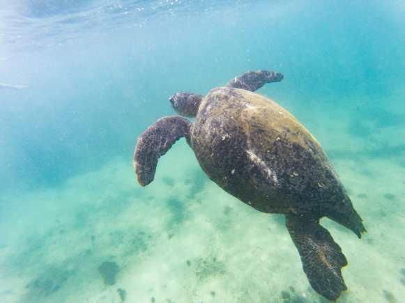 Sea turtle swimming at Las Tintoreras