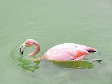 Pink flamingo swimming in green lagoon Galápagos