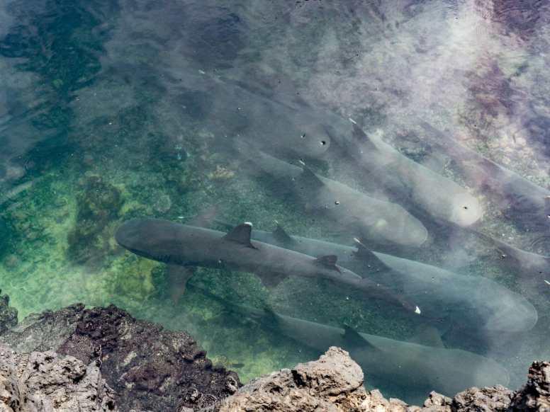 White-tip reef sharks swimming at Las Tintoreras