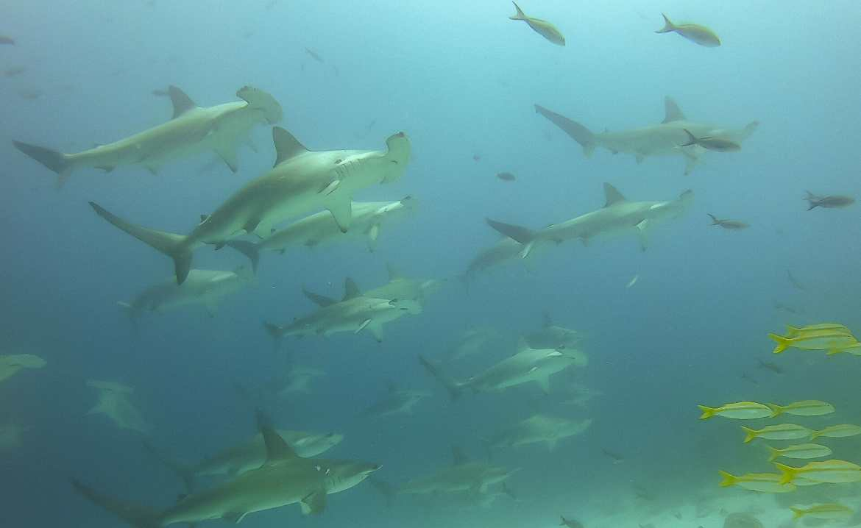 School of hammerhead sharks scuba diving Galápagos