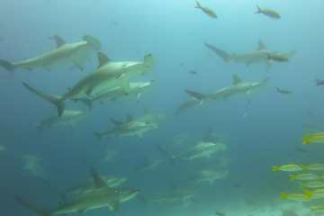 School of hammerhead sharks swimming in Galápagos