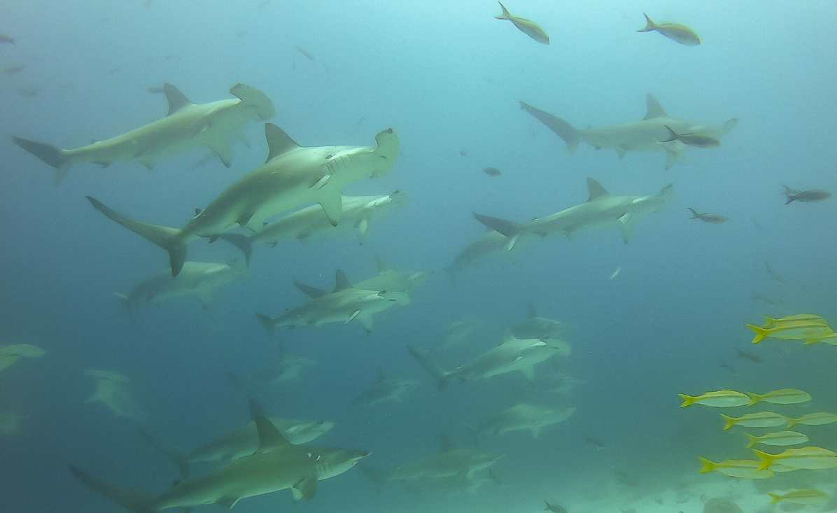 Diving with Hammerhead Sharks in the Galápagos