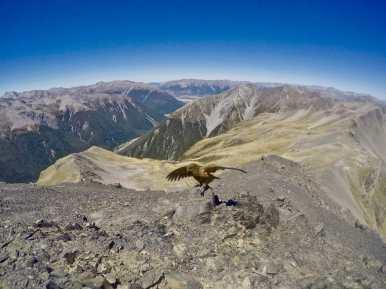 Kea on the summit of Avalanche Peak