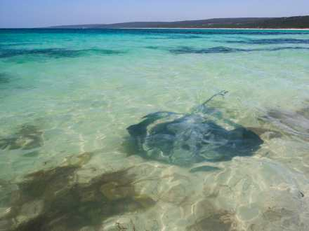 Stingray Hamelin Bay Western Australia