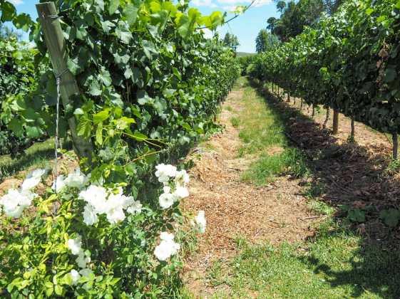 Roses in vineyard Perth Western Australia