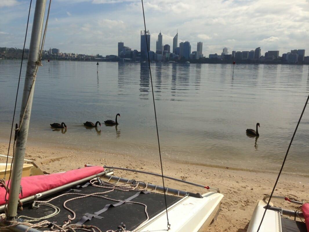 Swans and catamaran on Swan River Perth Western Australia