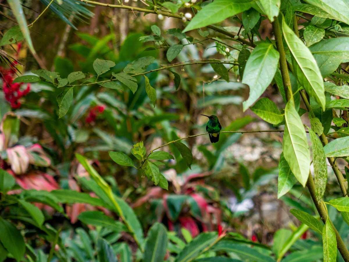 Hummingbird jungle flower Minca Colombia