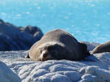 Fur seals at Ohau Point Seal Colony