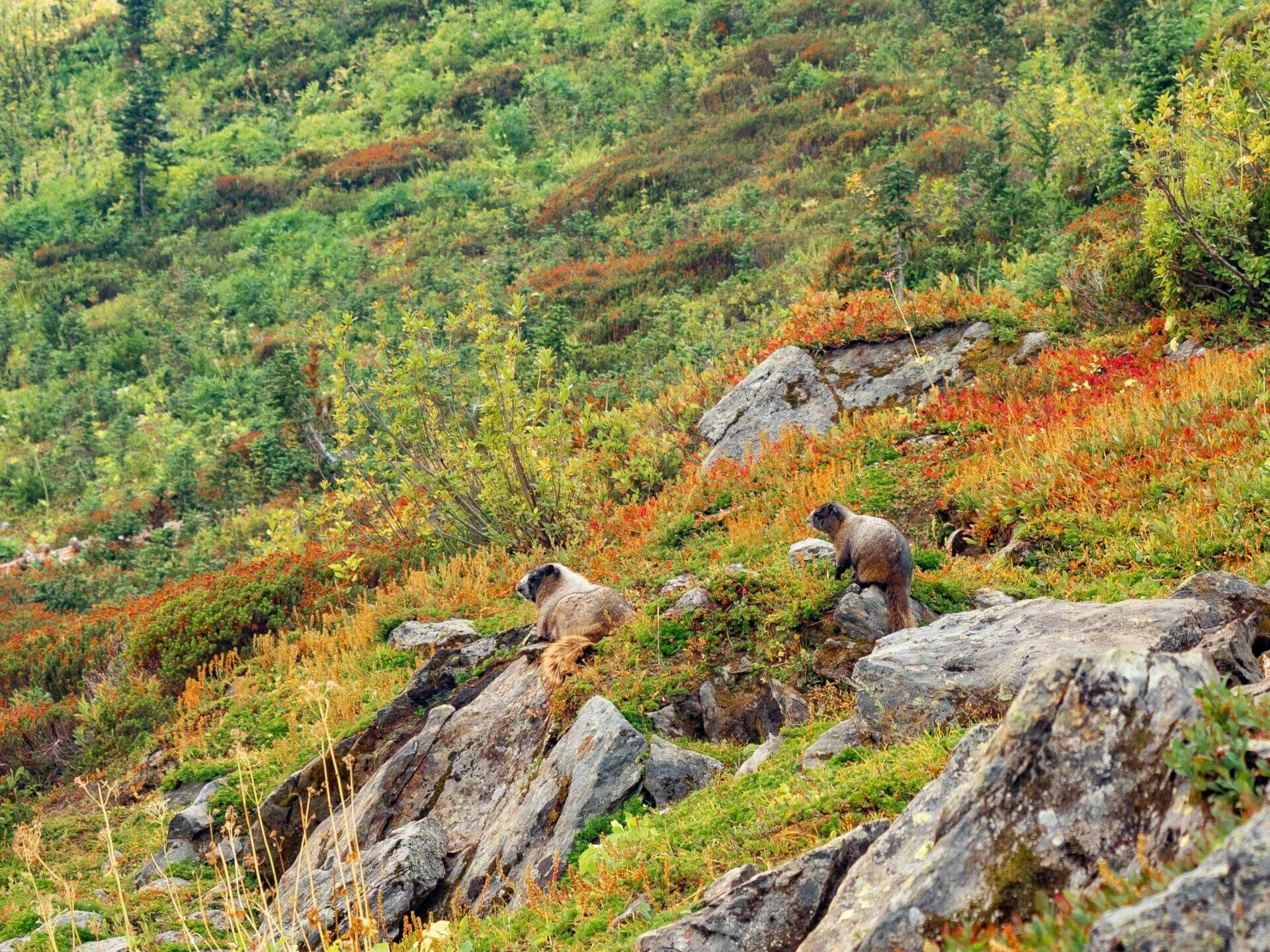 wildlife marmots Alpine Lakes Wilderness