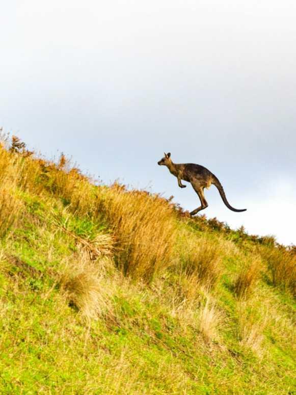 Great Ocean Walk hike kangaroo Johanna Beach