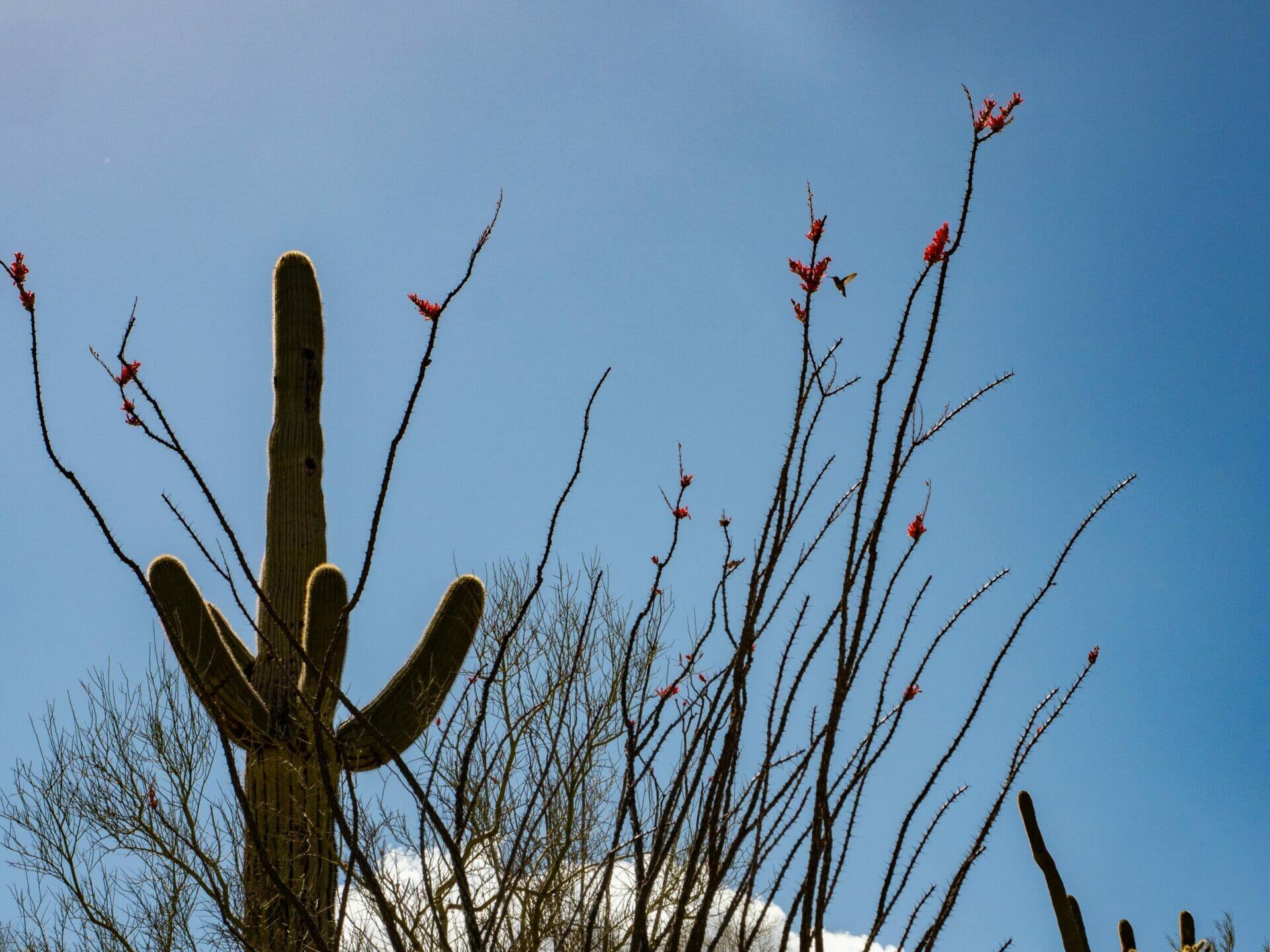 Cactus in bloom Arizona Sonoran Desert Saguaro National Park
