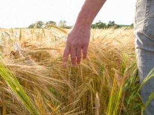 Woman walking through barley field