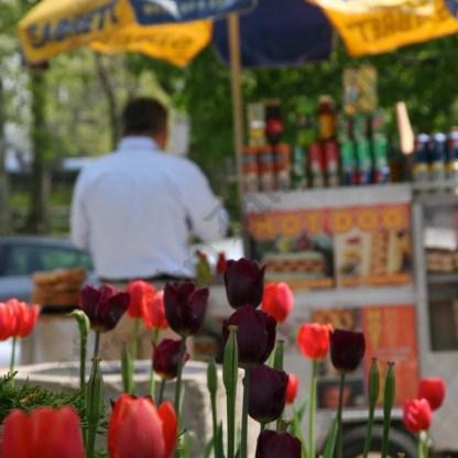 Tulips in Cadman Plaza Park April, 2010 - Brooklyn Archive