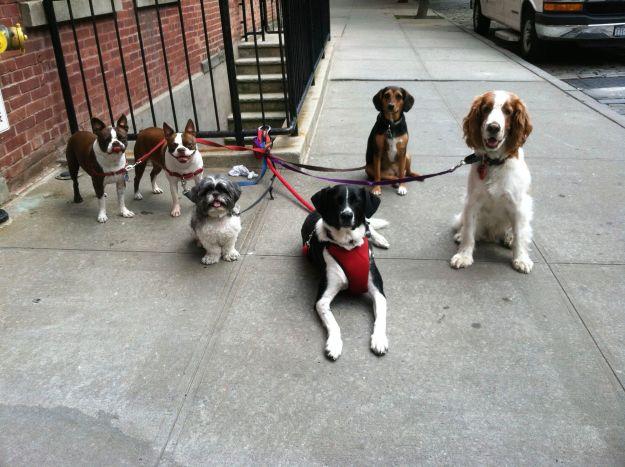Dog walks in Red Hook Brooklyn