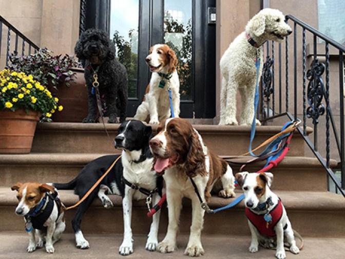 Downtown Brooklyn Dog Walker