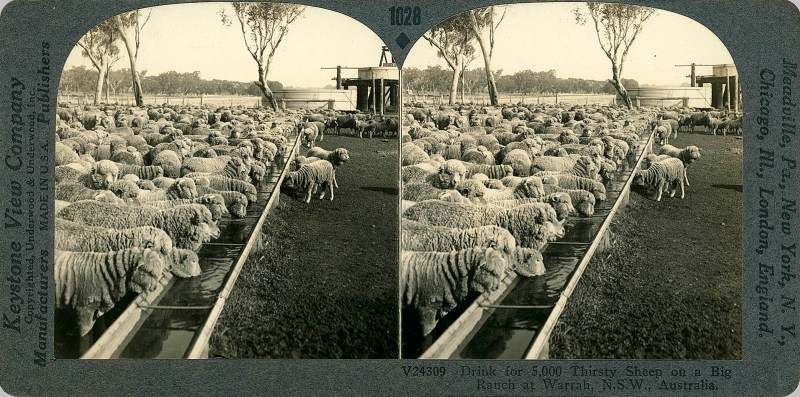 Drink for 5,000 Thirsty Sheep on a Big Ranch at Warrah, N.S.W., Australia.