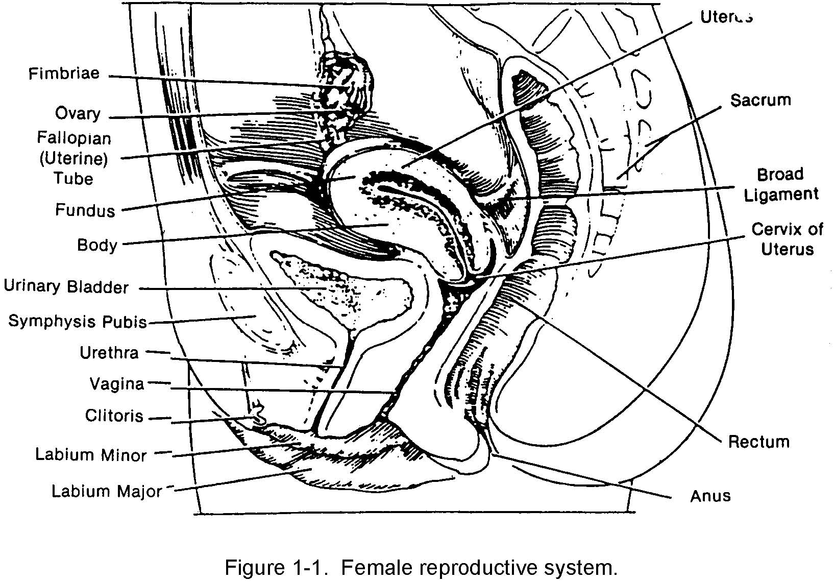 Diagram Labelled Diagram Of Female Reproductive System