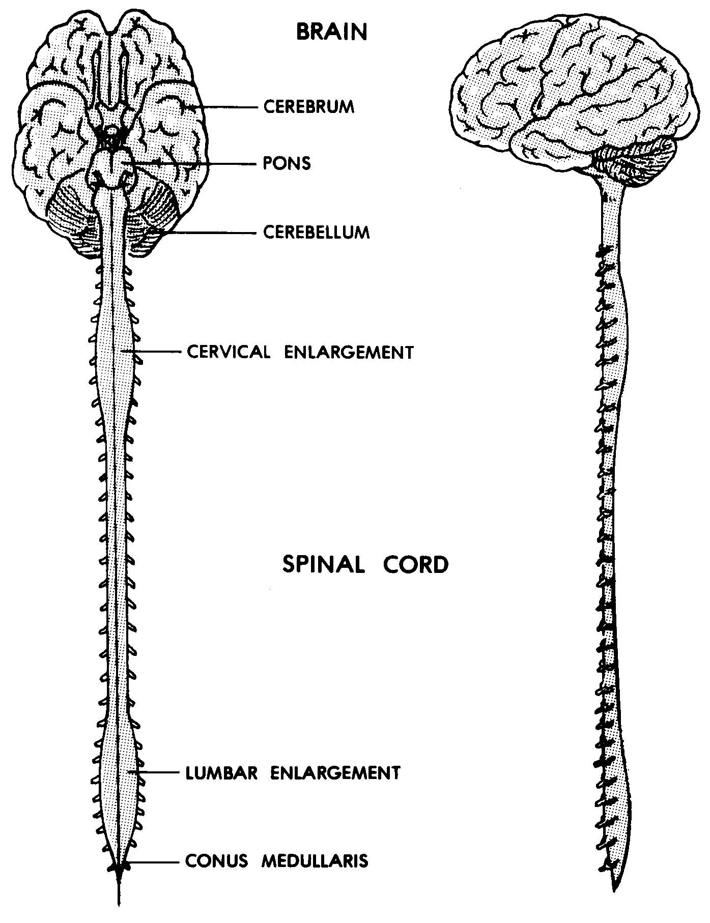 Schematic Of Nervous System