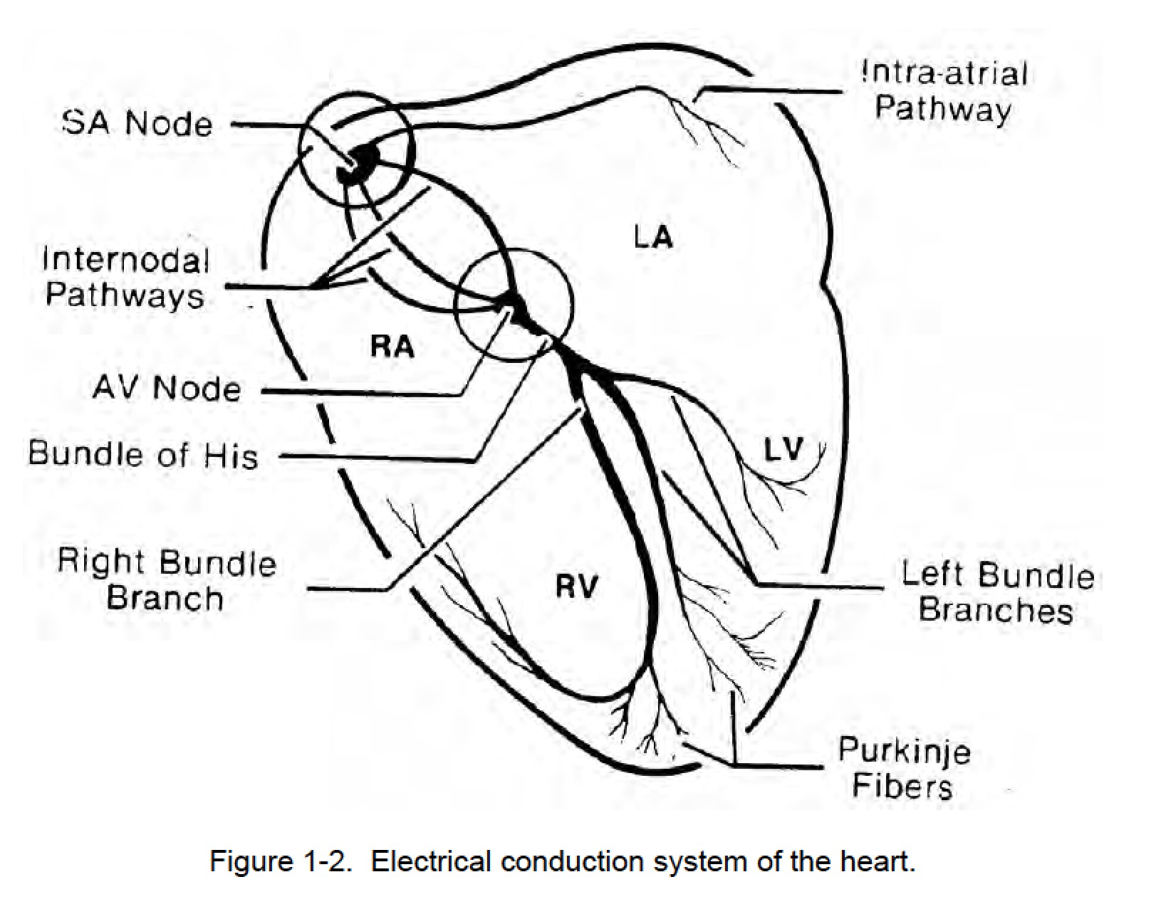 Figure 1 2 Electrical Conduction System Of The Heart