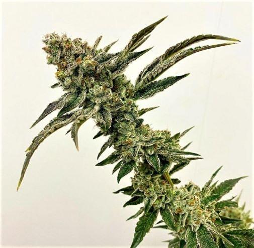 Exotic Genetix - Strawberry Float (Reg M/F)