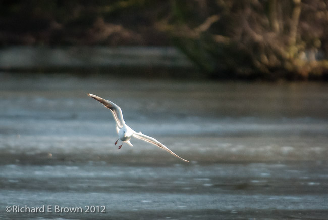 Gull coming to Land