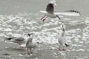 Gulls over Ice