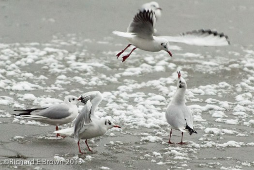 Gulls over Ice