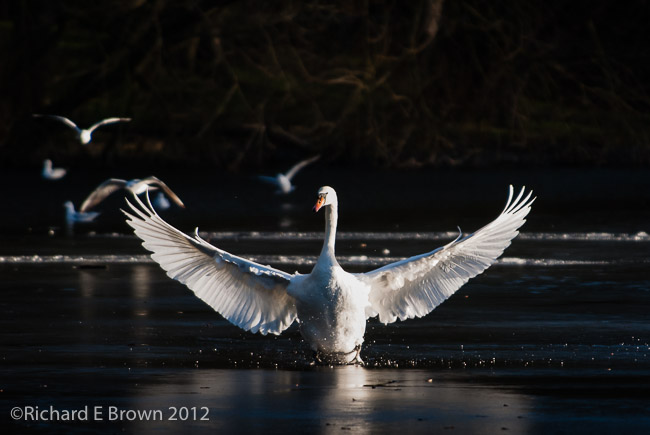 Mute Swan out Stretched