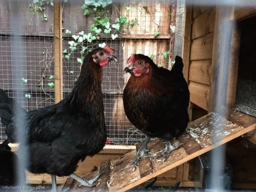 Garden Chickens Project-15