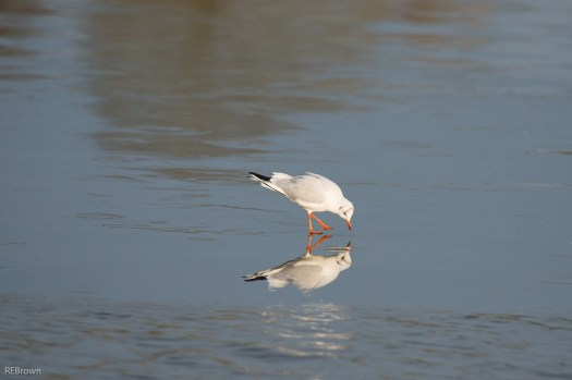 Black Headed Gulls-6