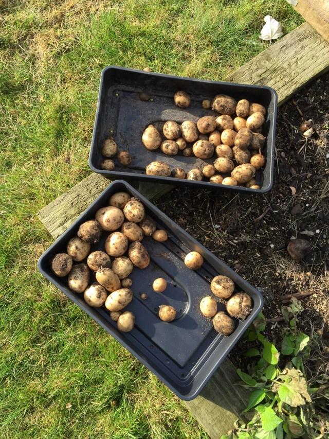 Winter Potato Harvest