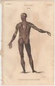 Anatomy, London Encyclopedia, Vol. 2, Plate 4
