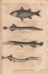 Pisces, Plate 3-1, London Encyclopaedia, Vol. 17, 1829