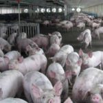 ASF fills Chinese markets with pork, but shortage coming