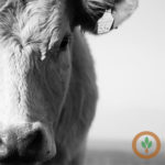 Ag Economy Barometer: Farmers expect beef and dairy herd to shrink