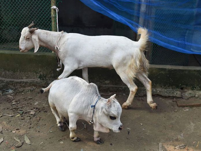 Thousands flock to see dwarf cow in Bangladesh that's shorter than a goat