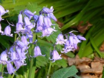 The bluebells in Wall churchyard were gorgeous