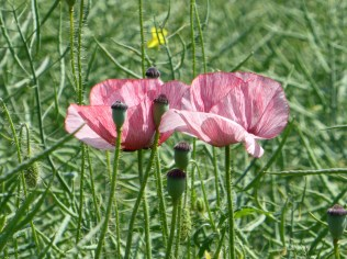 In amongst all the red poppies, there are a handful of these, which I guess must be a genetic aberration