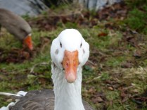 The domestic geese at Brookvale Park are every bit as hostile as their brethren at Chasewater