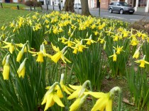 Early daffs in St. Pauls Square