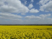 Oilseed rape as far as the eye can see at The Devil's Dressing Room