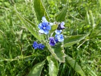 Hopwas Hays Wood - I think this is speedwell