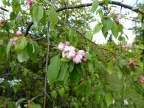 Haunton apple blossom