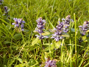 Bugle in Hoar Cross churchyard. An key source of early food for Lepidoptera.