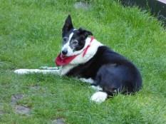 Old Bargee dog at Fradley Junction.