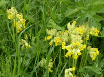 The cowslips are more profuse than ever I've seen before