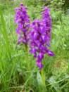 Marsh orchids near Hartington