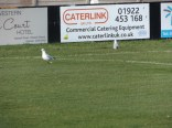 Walsall Wood seagulls watching Stouport Swifts